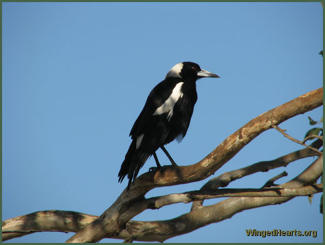 A magpie ponders